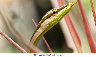 Striped Sharpnose Snake (Xenoxybeli - In the rainforest...