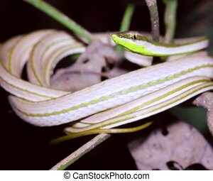 Striped Sharpnose Snake (Xenoxybeli - In the Ecuadorian...
