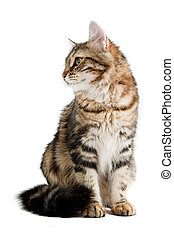 siberian cat - striped siberian cat isolated on white...