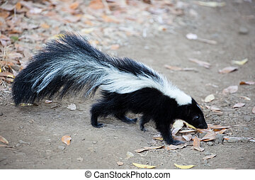 Striped Skunk - Mephitis mephitis - The striped skunk is a...