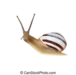 Striped snail isolated on white, vineyard snail, Cernuella...