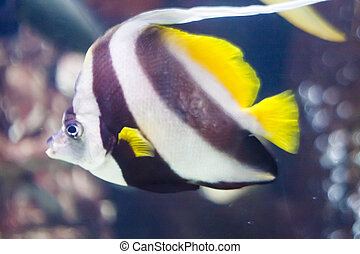 Striped Tropical Fish in a Tank