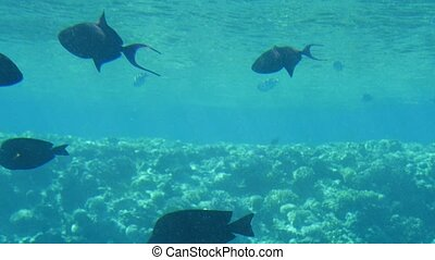 Striped tropical fish swimming in a shoal and seeking food...