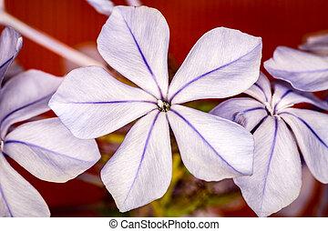 Striped white flower