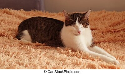 Striped white gray adult cat lies on the bed and blinks,...