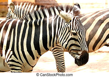 A plains zebra (Equus quagga) with his typical black and white striped pattern