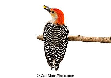 Stripes of a Red-bellied Woodpecker