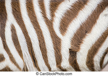 Stripes of a young zebra - Closeup of stripes of a young...