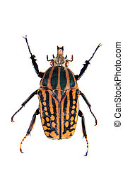 Stripped beetle on the white background - Stripped beetle in...