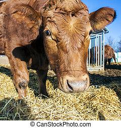 stro, vriendelijk, vee