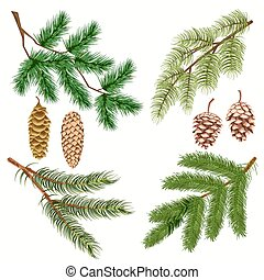 strobiles, conífero, blanco, ramas, árbol