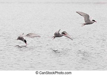 stroboscopic, 研究, ......的, 飛行, 北極燕鷗, 在上方, 湖