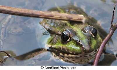 Stroking His Stick on the Back of Frog in the River. Green...