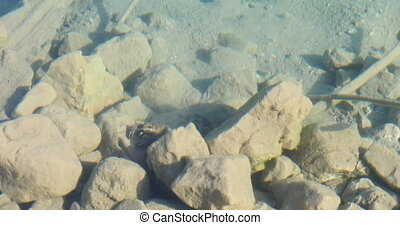 strolling crayfish under water in the morning, black lake,...