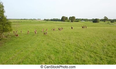 Strolling through the meadow of the deers in the beautiful weather. Aerial survey
