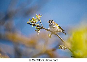 strom, dech, stehlík obecný, filiálka, ptáček, strom, jablko, rozkvět, -
