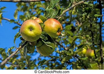 strom, jablko