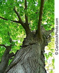 strom, javor