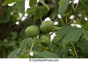 strom, list, vlašský ořech, ovoce, nezkušený