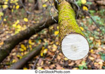 strom, podzim, saw-cut, klesání, les, deštivý