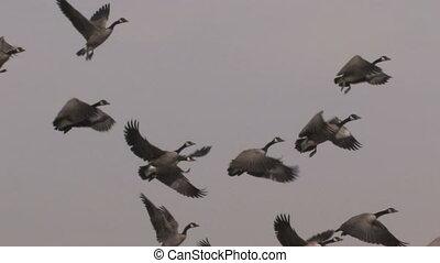 stromen van geese toe