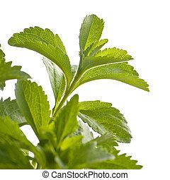 strona, rebaudiana, gałąź, stevia, zielone tło, kąt, biały, projektować, roślina