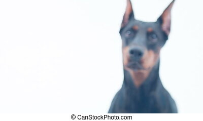 Strong and dangerous. Dolly shot of Doberman staying on isolated background