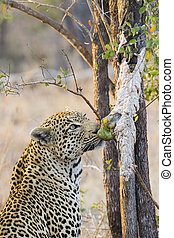 Strong and hungry leopard catch a rock python