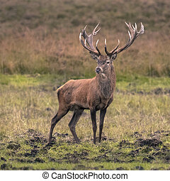 Strong male red deer