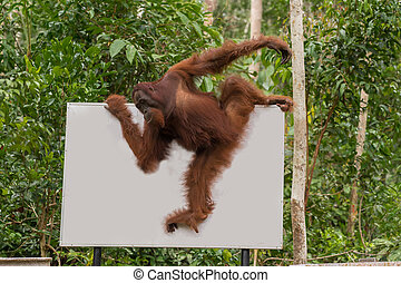 Strong orangutan easily moved along the billboard in the...