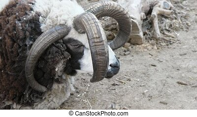 Strong ram with four horns standing in a zoo and looking...