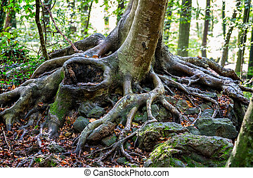 Strong roots from a beech tree in thr forest