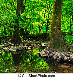 strong roots in creek - strong roots of old trees in a...
