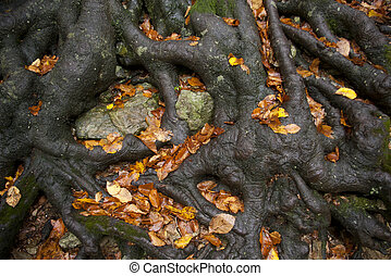 Strong roots - Thick roots of an old beech tree holding the...
