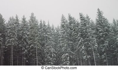 Strong snow comes on the background of Christmas trees