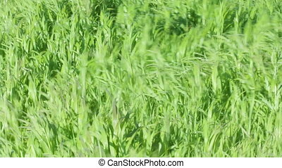 Strong wind whimsical care eared grass - Strong summer wind...