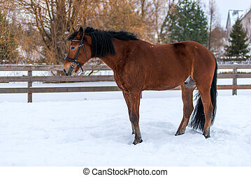strong young horse in the snow on a ranch near the fence