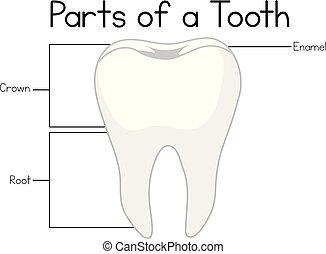 strony, ząb