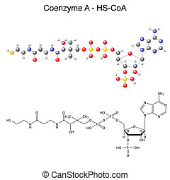 Structural chemical formula and model of Coenzyme-A