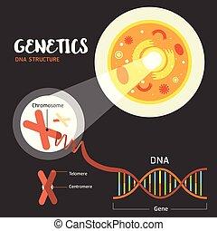 structure, adn, génétique