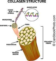 structure., collagen, isolado, ilustração, experiência., infographics., vetorial