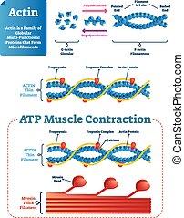 structure., illustration., diagramme, étiqueté, vecteur, actin, protéine