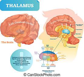 structure., illustration., orvosi ábra, agyonüt, címkével ellátott, vektor, thalamus