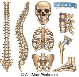 structure., kranium, joints., skelett, bur, mänskligt törne, anatomi, vektor, bäcken, medicine., sätta, 3, revben, ikon