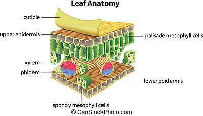 Structure of a leaf - Illustration of the anatomy of a leaf