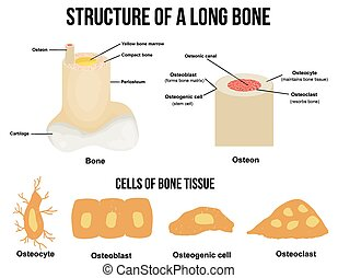 Bone Cell Diagram