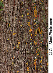 Structure of a tree trunk of an aspen