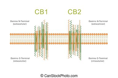 Structure of Cannabinoid Receptors CB1 and CB2 Diagram ...