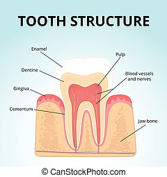 structure of human teeth