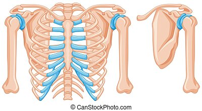 Structure of shoulder bones illustration